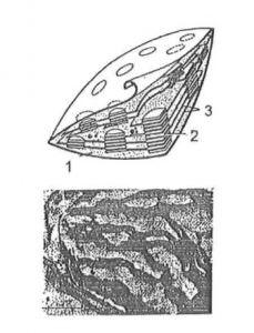 Thể lạp trong tế bào thực vật