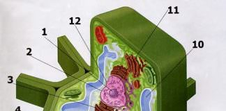 Cấu tạo của tế bào thực vật