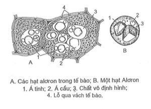 Thể vùi trong tế bào thực vật