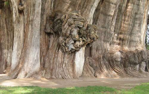 Thân cây già