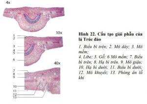 giải phẫu lá trúc đào