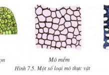 mô thực vật