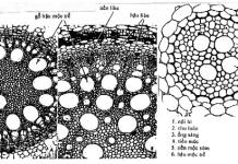 giải phẫu thân cây