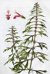 cây ích mẫu