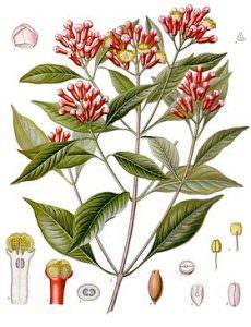 cây định hương