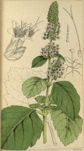 cây hoắc hương
