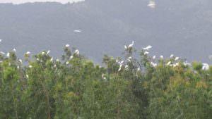 cây bạch đàn giàu cineol