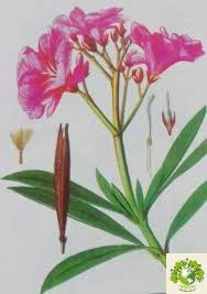 Cây Trúc Đào