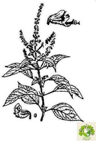 Dược liệu Hương nhu trắng
