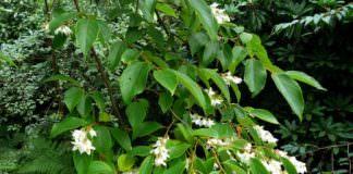 cây cánh kiến trắng