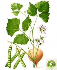 Hạt củ đậu