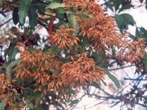cây canhkina