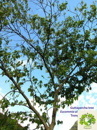 cây đỗ trọng