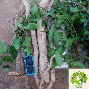 cây sâm xuyên đá