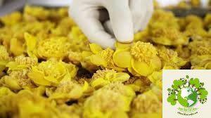chế biến trà hoa vàng