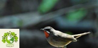chim oanh cổ đỏ
