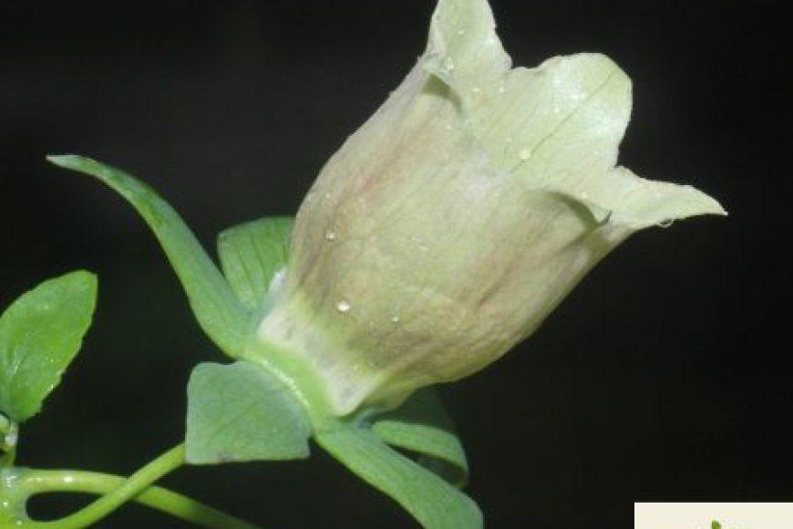 Đẳng sâm (党参) | Campanulaceae