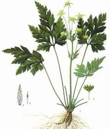 cây hoàng liên