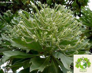 hoa Phong Ba