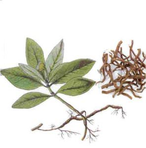 cây Ipeca