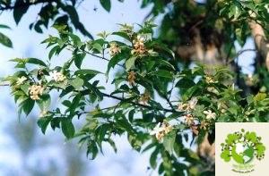 Cây Mức Hoa Trắng