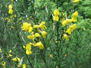cây Sarothamnus