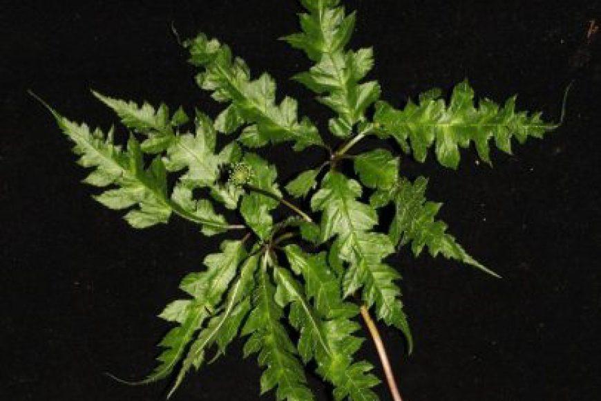 Sâm Vũ diệp (Panax bipinnatifidus Seem.)