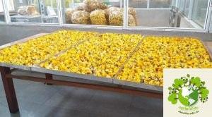 sản xuất trà hoa vàng