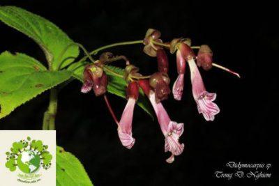 Didymocarpus sp. – Song quả [Chapa-Laokay-Tonkin]