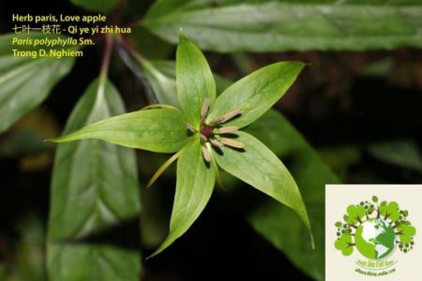 Thất diệp nhất chi hoa – Bảy lá một hoa – Củ rắn cắn