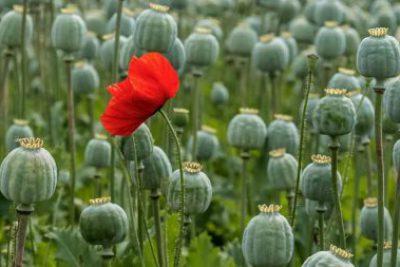 Cây thuốc phiện – Hoa anh túc