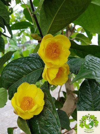 cây trà hoa vàng
