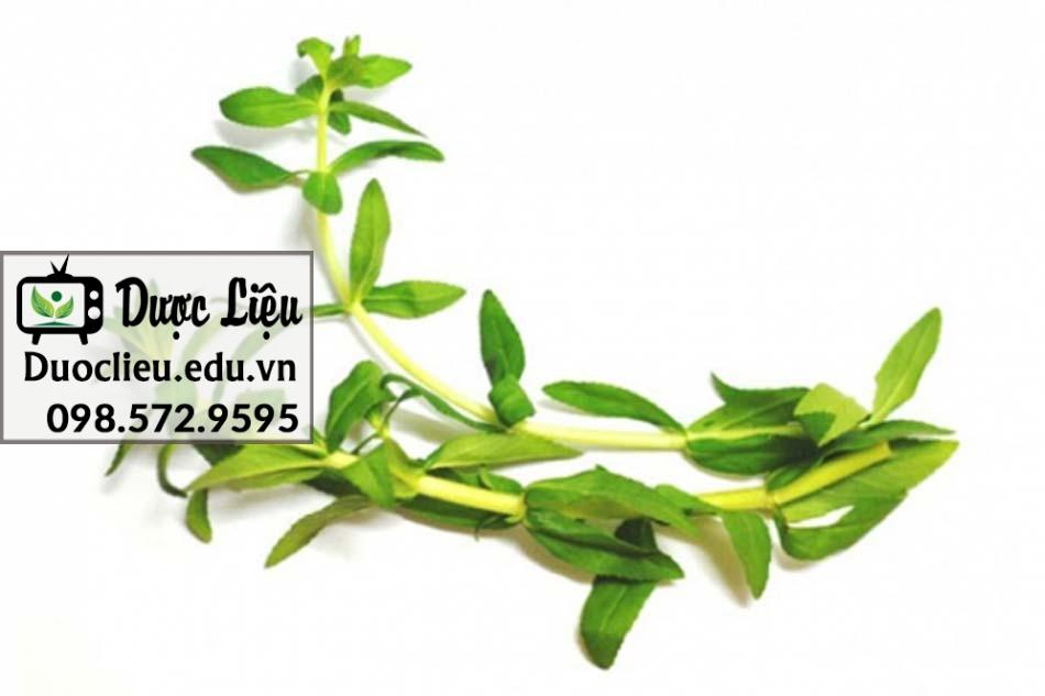 Đặc điểm thực vật của Ngò Om
